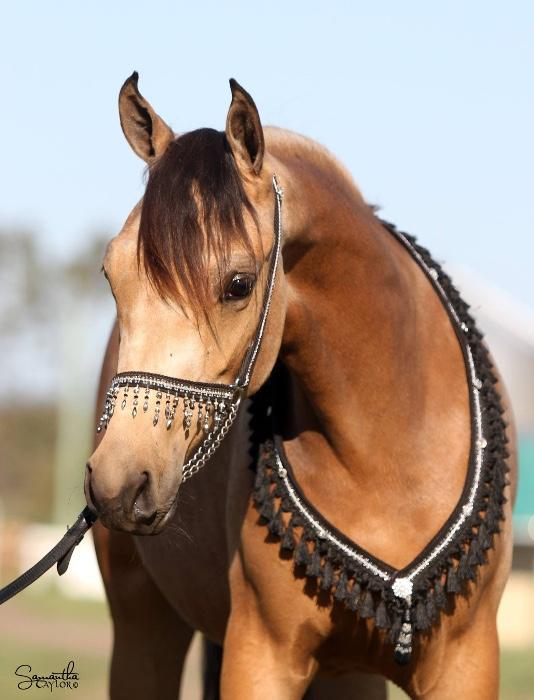 Envy FF 4yo Buckskin Part Arab Mare