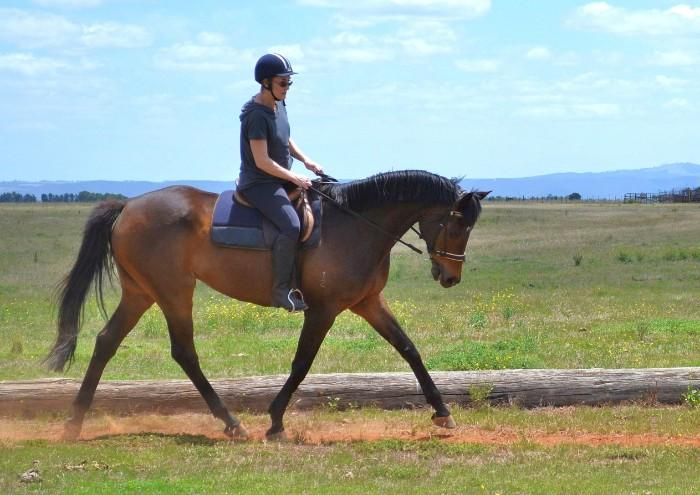 Perfect second horse - TB gelding