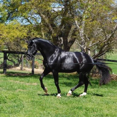 Don Gold - Maddy's Sire