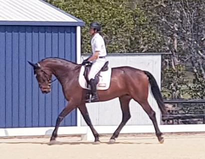 Talented Young Warmblood