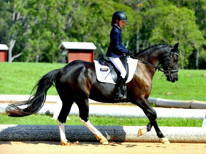 Friesian Warmblood Mare Allrounder