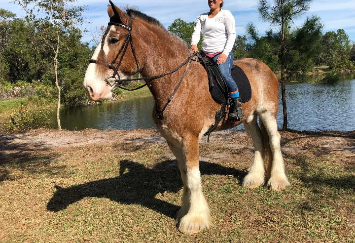 Clydesdale. Rides, Drives,Jumps, Trail and Traffic
