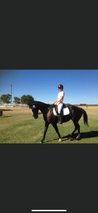 15.2HH Showjumper/ All Rounder