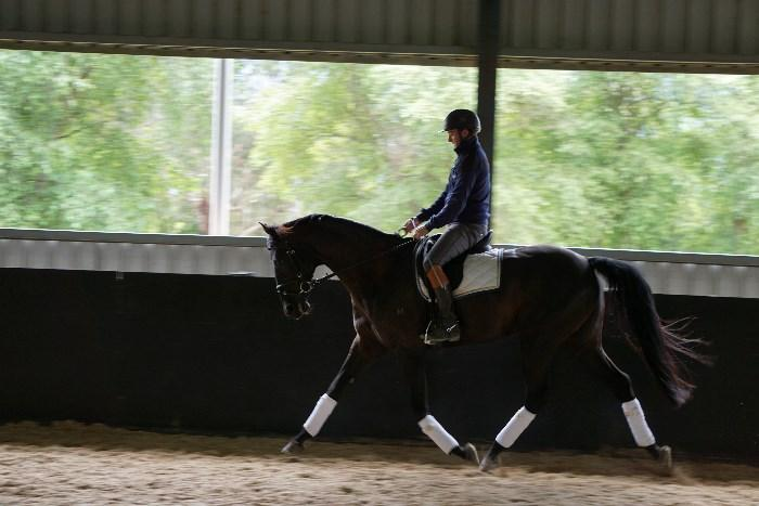 Fancy WB * TB gelding