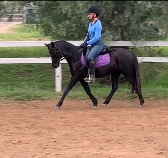 'Silkdale Grace' black Arabian Riding Pony Mar