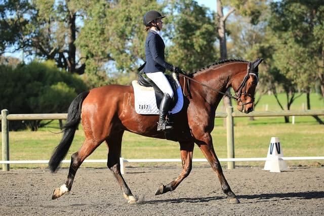 Talented Warmblood Gelding - Safe & Reliable