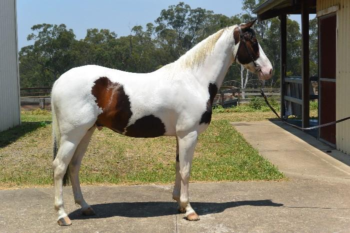 Warmblood Paint Gelding