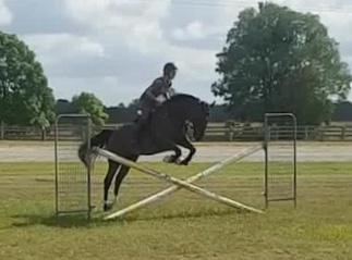 EVENTING WINNER!!       Flashy 16.2hh 7yo gelding