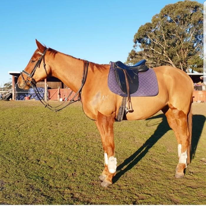'Kaiser' 5yo thoroughbrd gelding