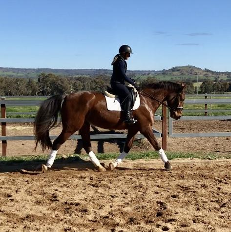 Handsome Andalusian/WB gelding