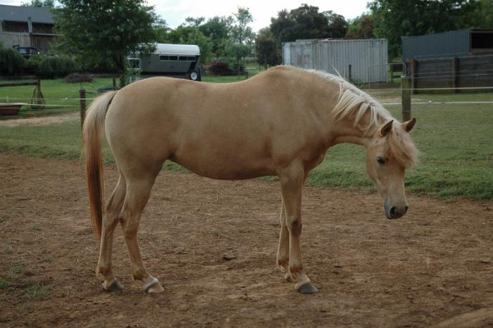 Palomino Part Arabian mare REDUCED!!