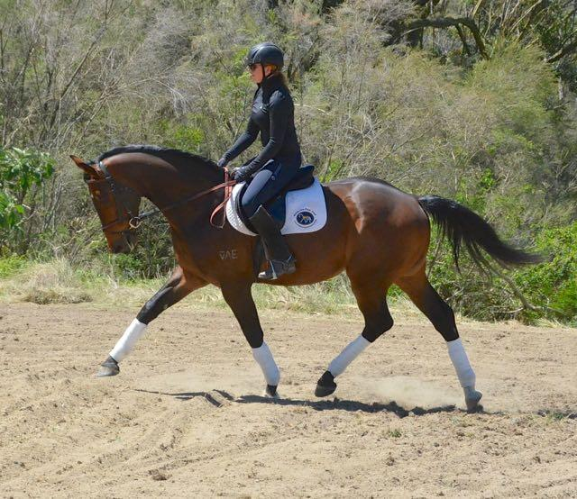 Top Showing or Dressage Prospect