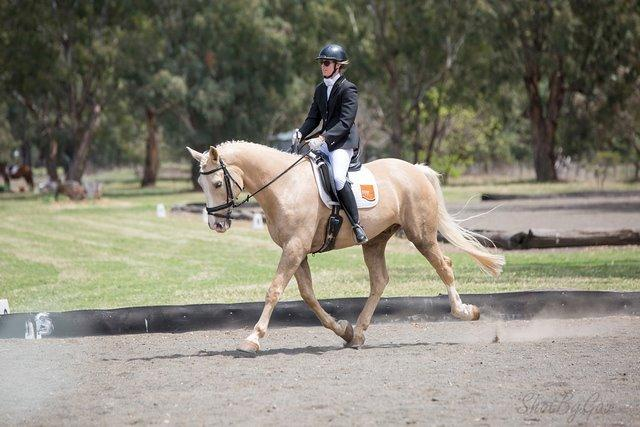 Warmblood Palmino Gelding
