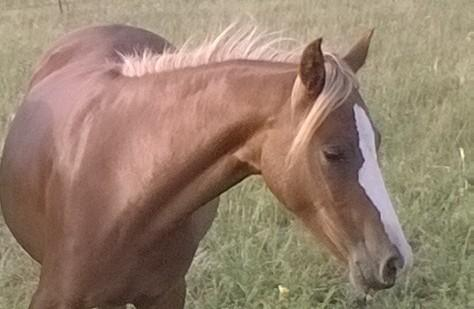 reg welsh yearling filly