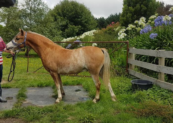 WELSH MOUNTAIN PONY 2 YR OLD GELDING