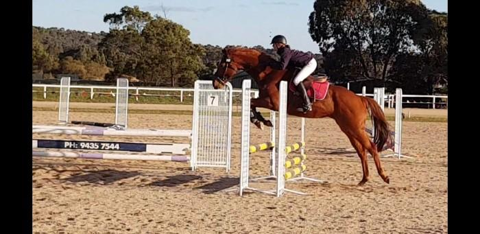 Performance bred WB/TB mare