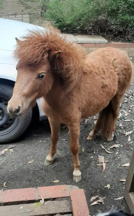 Miniature pony liver chestnut female 2 year old