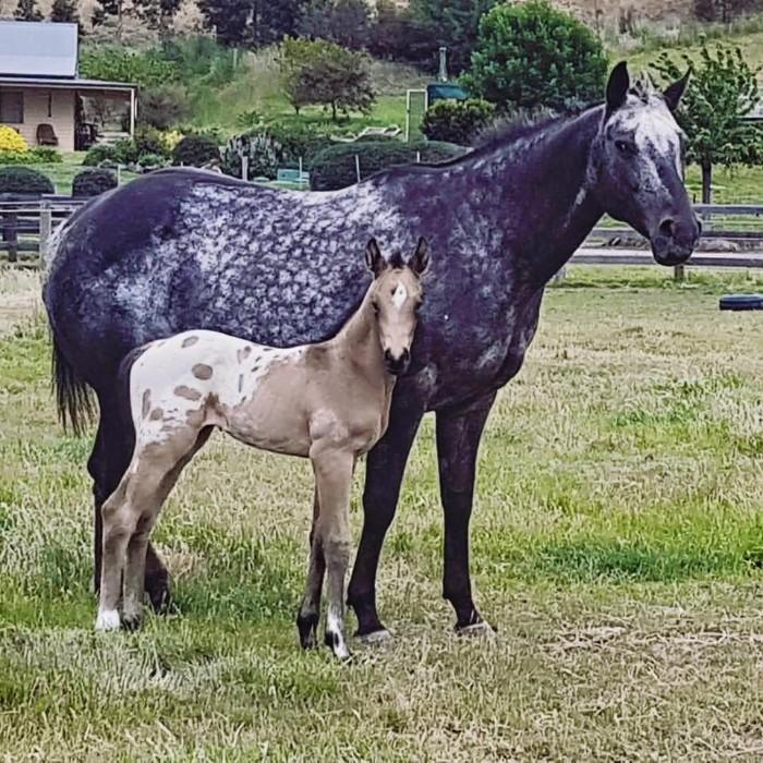 Quality Appaloosa Broodmare