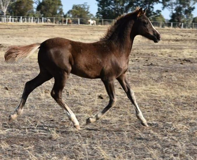 Outstanding Stud Colt