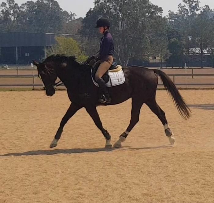 Experienced SJ and dressage schoolmaster