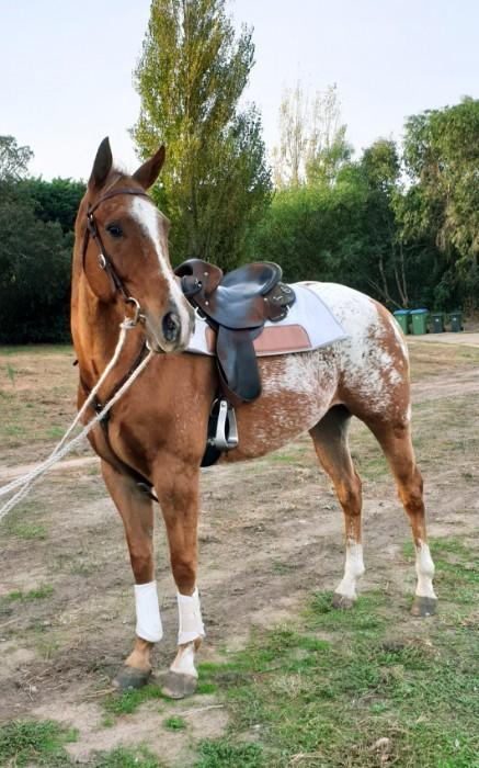 Beginners Quarter horse x appaloosa