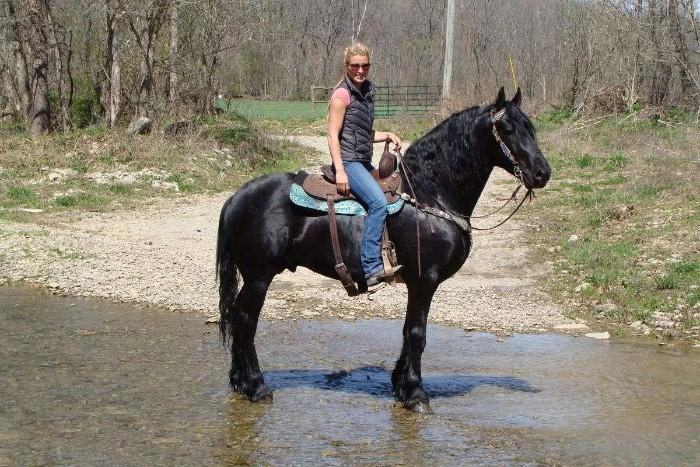 Registered Purebred Friesian