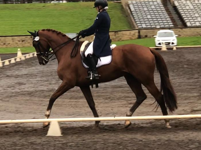 Beautiful Medium/Advanced Gelding by Jazz
