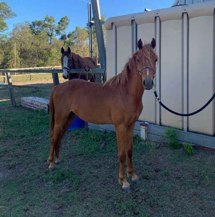 2yo Riding Pony Gelding Unbroken
