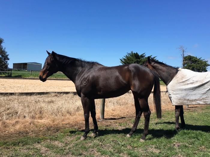 Broodmare / Pleasure horse