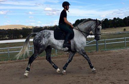 Competitive Junior  or Dressage Horse