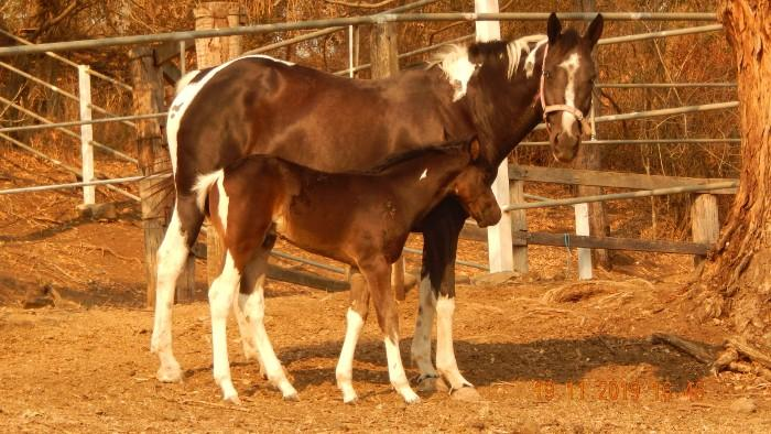 black tobiano colt EE