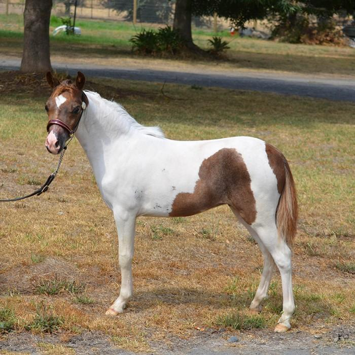 Full USA Mini Filly