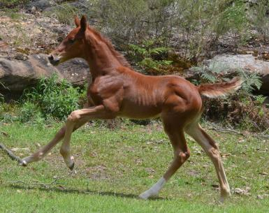 Wimborne Confederate x Escudo 1 filly1