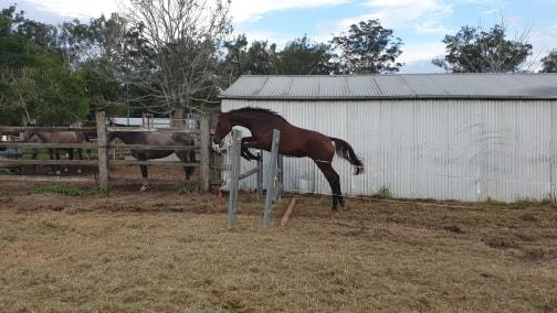 WARREGO HOSTESS - 3yo Warmblood Mare