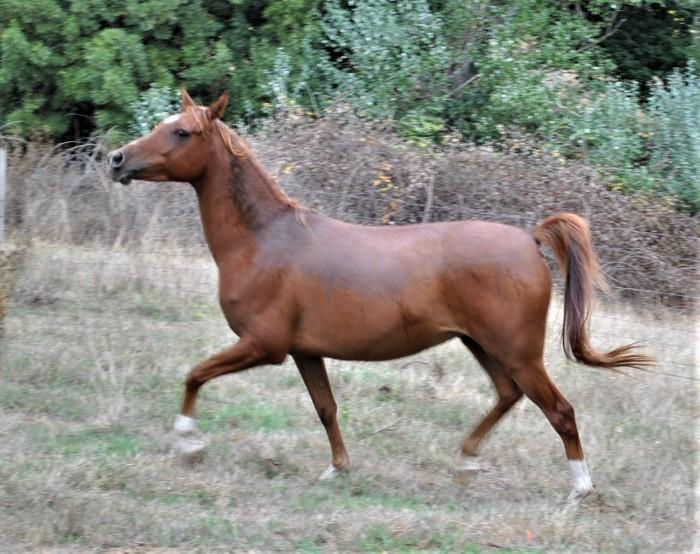 Love Struck; Arab Gelding