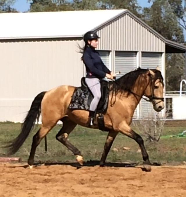Lusitano Dressage Beautiful Training