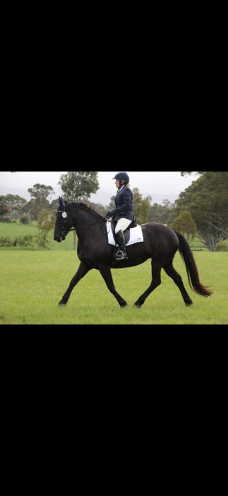 Registered FWB 8YO mare 15.3hh