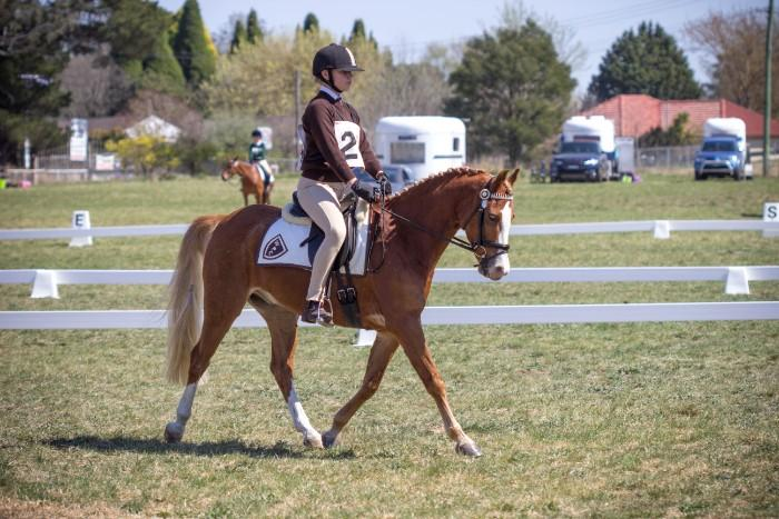 Stunning Welsh pony 13.2h can do it all!