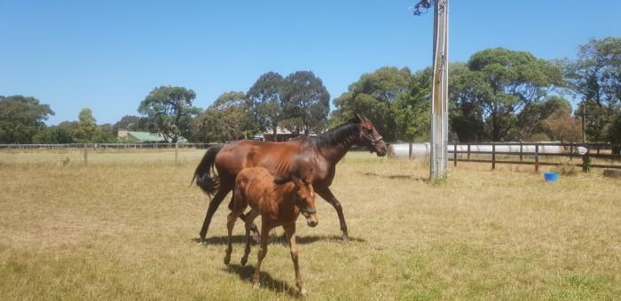 Thoroughbred Broodmare