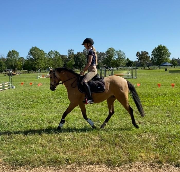 Buckskin Riding Pony Gelding
