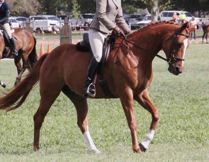 Warmblood X Mare Stunning and Trainable