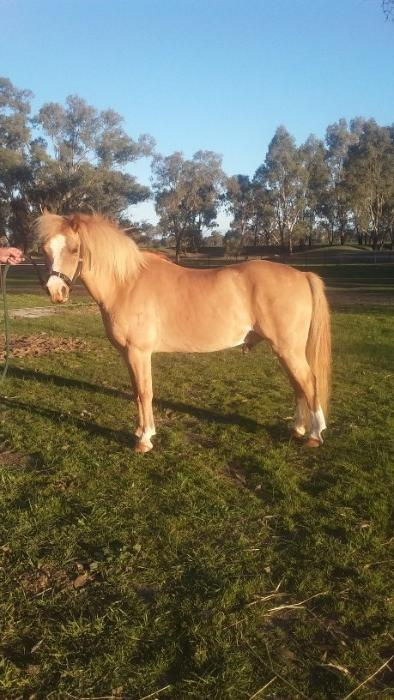 Welsh  pony called Aussie