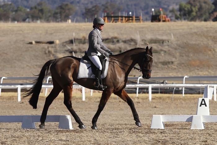 16.3 Bay Thoroughbred Gelding