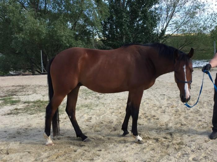 WARMBLOOD X GELDING
