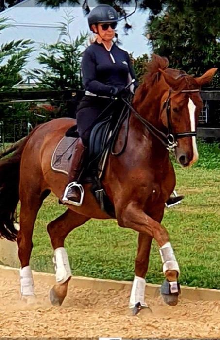 Imported FEI Gelding - Price Reduced