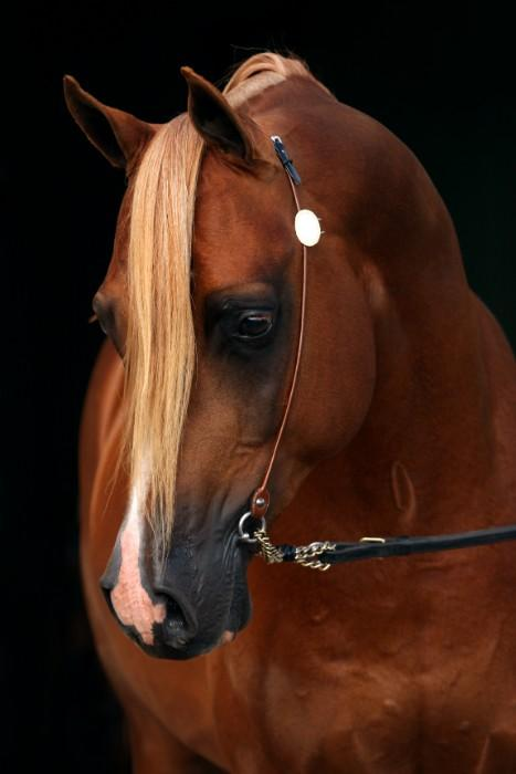 Valor - Arabian Stallion