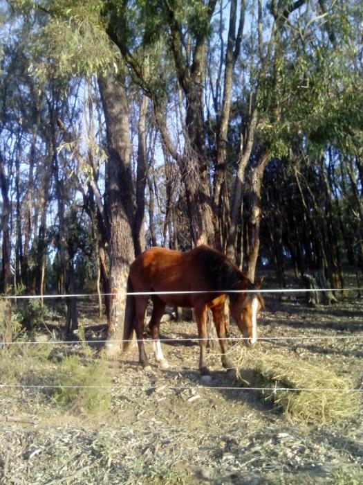 Tamlyn PL Mohican Arabian Stock Horse 3yo filly