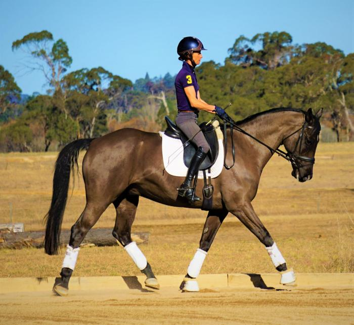 Warmblood gelding - training Medium