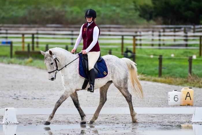 15.1h Warmblood Gelding