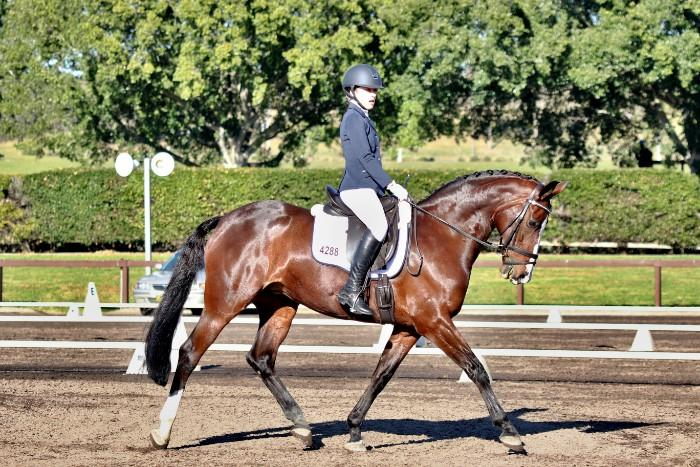 Super classy medium level warmblood